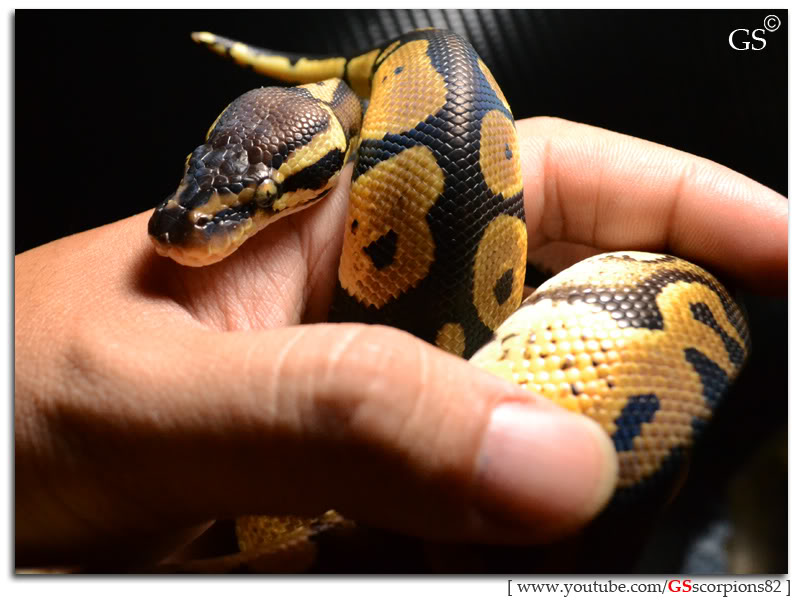 Royal/Ball Python thread (Python regius) - Page 4 Pastel_by_GSscorpions82_060312_pic15