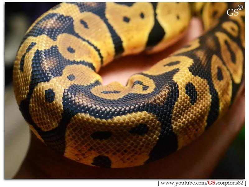 Royal/Ball Python thread (Python regius) - Page 4 Pastel_by_GSscorpions82_060312_pic4