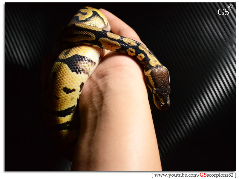 Royal/Ball Python thread (Python regius) - Page 4 Pastel_by_GSscorpions82_060312_pic6