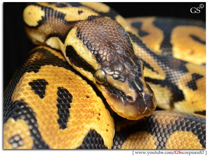Royal/Ball Python thread (Python regius) - Page 4 Pastel_by_GSscorpions82_060312_pic7