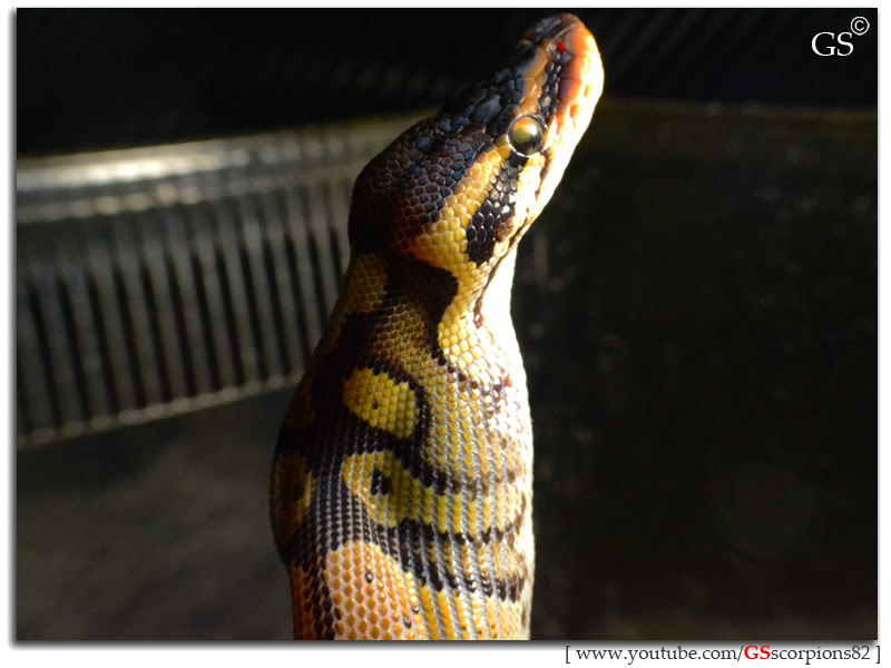 Royal/Ball Python thread (Python regius) - Page 5 Pastel_by_GSscorpions82_070312_pic2