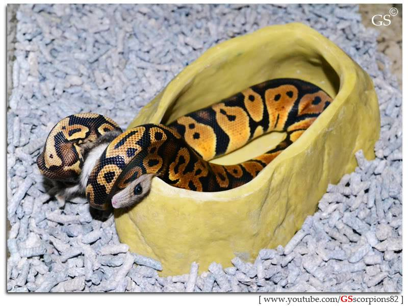 Royal/Ball Python thread (Python regius) - Page 5 Pastel_by_GSscorpions82_110312_pic_3_