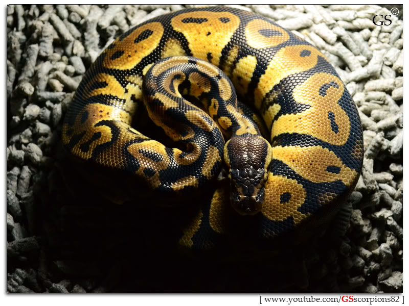 Royal/Ball Python thread (Python regius) - Page 6 Pastel_by_GSscorpions82_230312_pic1