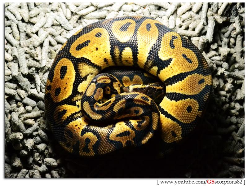 Royal/Ball Python thread (Python regius) - Page 6 Pastel_by_GSscorpions82_230312_pic3