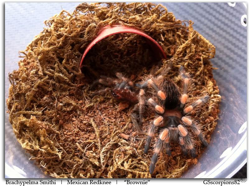 GS' TarantulaS Brachypelma_Smithi_Pic1
