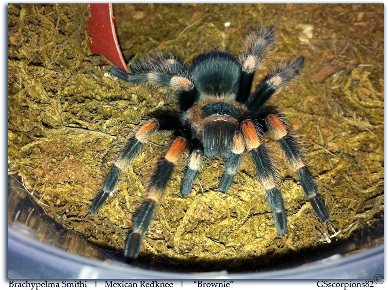 GS Pictures & Discussion Threads Brachypelma_Smithi_Pic2