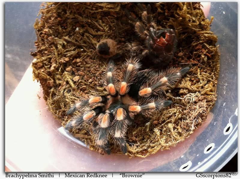 GS' TarantulaS Brachypelma_Smithi_Pic4