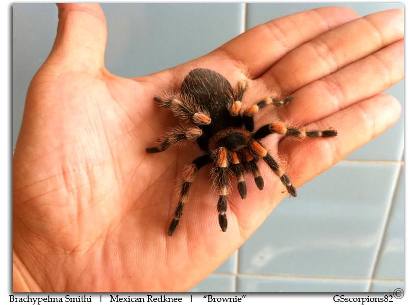 GS' TarantulaS Brachypelma_Smithi_Pic5