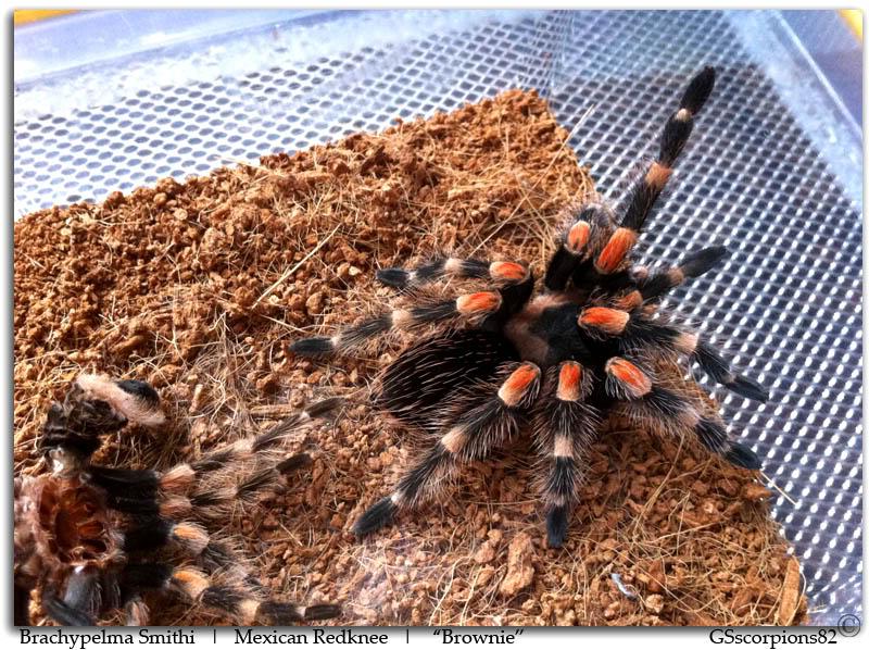 GS' TarantulaS Brachypelma_Smithi_Pic6