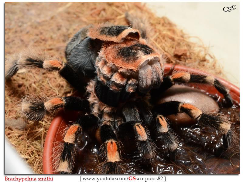GS' TarantulaS Brachypelma_smithi_by_GSscorpions82_pic2