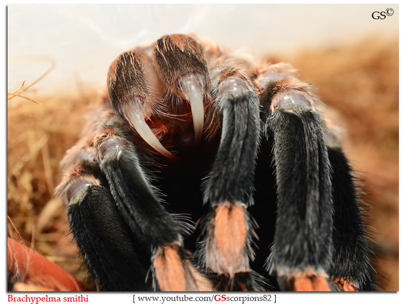GS' TarantulaS Brachypelma_smithi_by_GSscorpions82_pic4