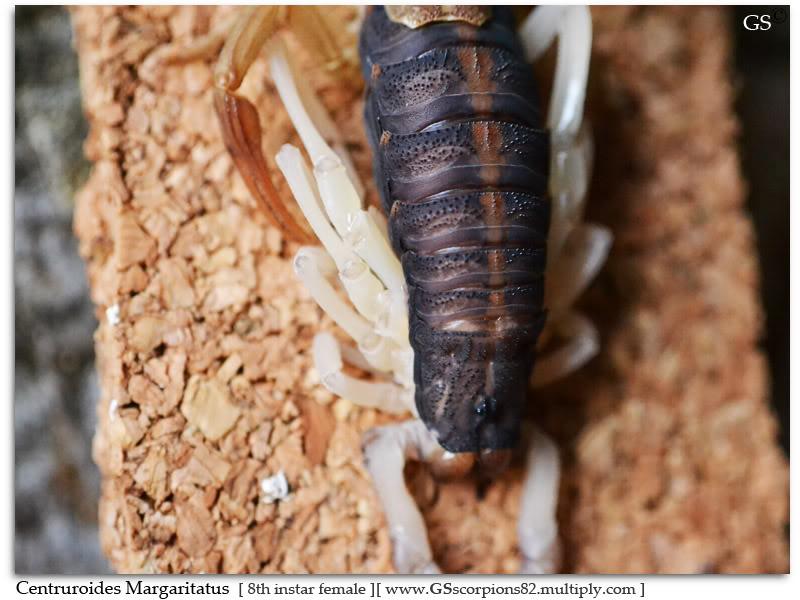 [ASA] Centruroides margaritatus Centruroides_margaritatus_150711_by_GS_pic2