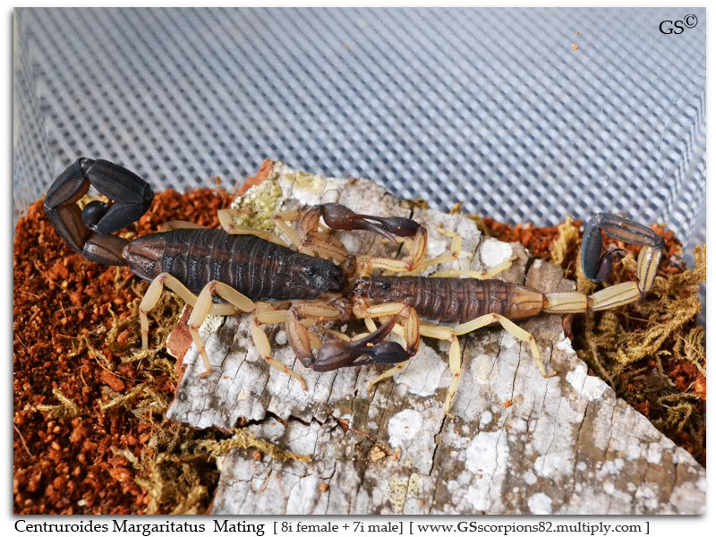 [ASA] Bark Scorpions' Caresheet Centruroides_margaritatus_8i_mating_by_GS_pic9