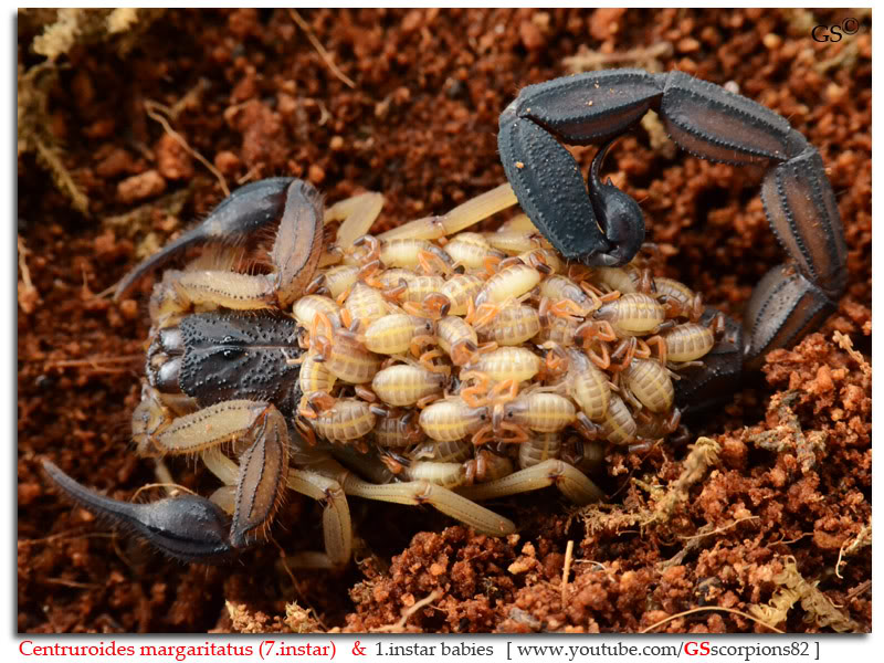 [ASA] Centruroides margaritatus - Page 2 Centruroides_margaritatus_i7_with_i1_babies_by_GSscorpions82_pic_11