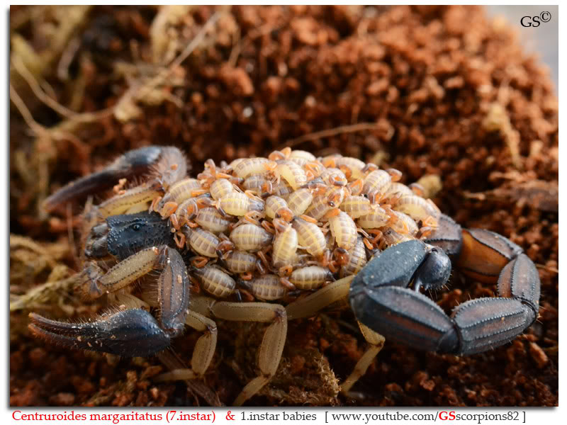 [ASA] Centruroides margaritatus - Page 2 Centruroides_margaritatus_i7_with_i1_babies_by_GSscorpions82_pic_12
