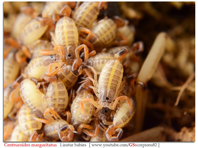 [ASA] Centruroides margaritatus - Page 2 Centruroides_margaritatus_i7_with_i1_babies_by_GSscorpions82_pic_17a