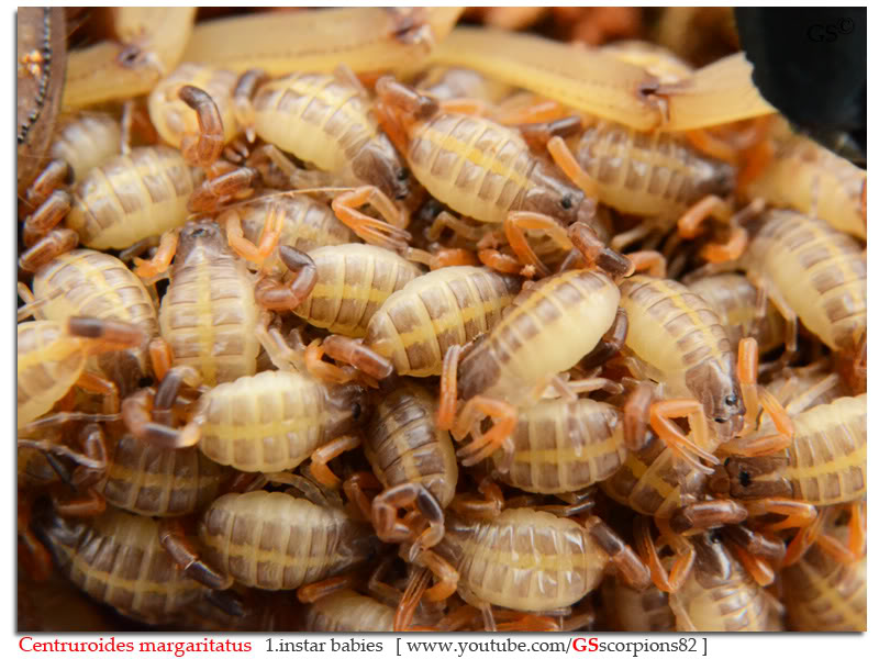 [ASA] Centruroides margaritatus - Page 2 Centruroides_margaritatus_i7_with_i1_babies_by_GSscorpions82_pic_18a