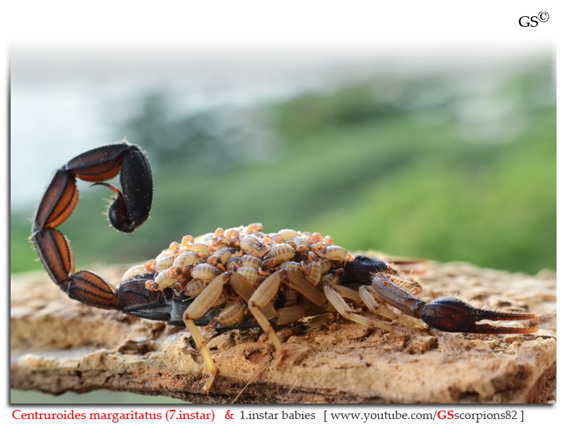 [ASA] Centruroides margaritatus - Page 2 Centruroides_margaritatus_i7_with_i1_babies_by_GSscorpions82_pic_2