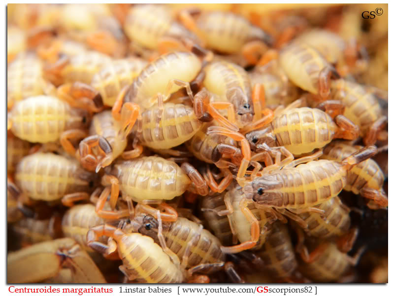 [ASA] Centruroides margaritatus - Page 2 Centruroides_margaritatus_i7_with_i1_babies_by_GSscorpions82_pic_21a