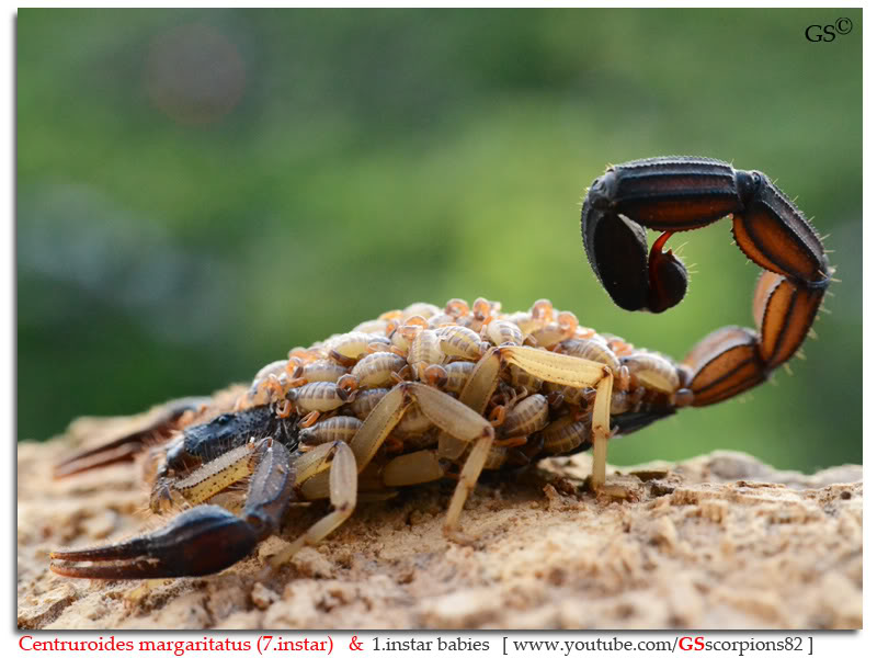 [ASA] Centruroides margaritatus - Page 2 Centruroides_margaritatus_i7_with_i1_babies_by_GSscorpions82_pic_4