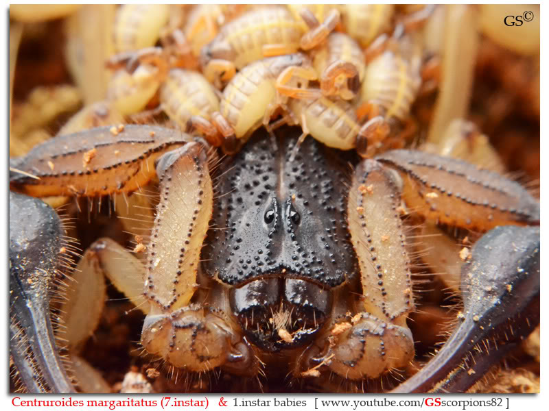 [ASA] Centruroides margaritatus - Page 2 Centruroides_margaritatus_i7_with_i1_babies_by_GSscorpions82_pic_5