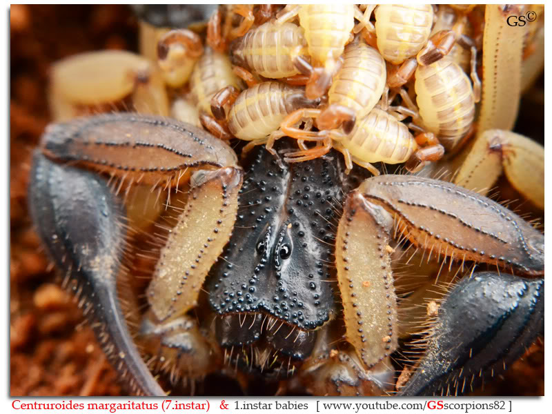 [ASA] Centruroides margaritatus - Page 2 Centruroides_margaritatus_i7_with_i1_babies_by_GSscorpions82_pic_6