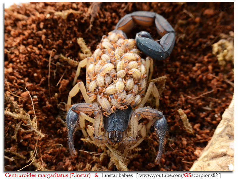 [ASA] Centruroides margaritatus - Page 2 Centruroides_margaritatus_i7_with_i1_babies_by_GSscorpions82_pic_8
