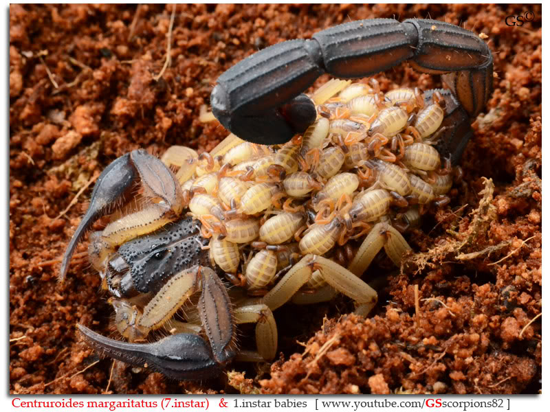 [ASA] Bark Scorpions' Caresheet Centruroides_margaritatus_i7_with_i1_babies_by_GSscorpions82_pic_9