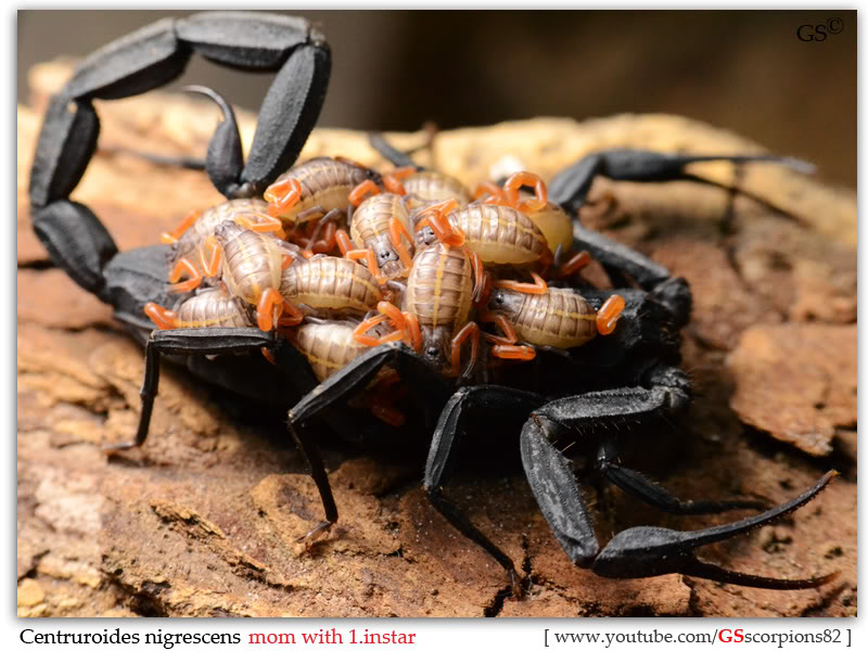 [ASA] Centruroides nigrescens - Page 2 Centruroides_nigrescens_2nd_brood_1instar_by_GSscorpions82_pic1