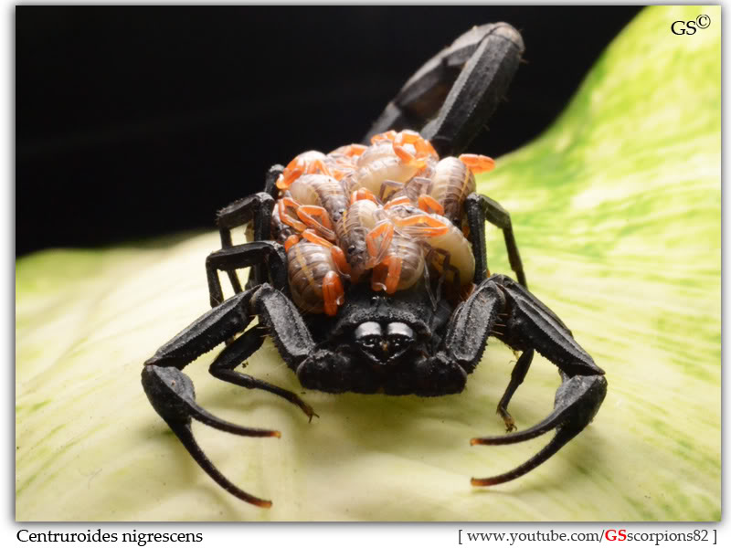 [HOW TO] Simple DSLR Setup for Macro/Close-Up Shots Centruroides_nigrescens_2nd_brood_1instar_by_GSscorpions82_pic5