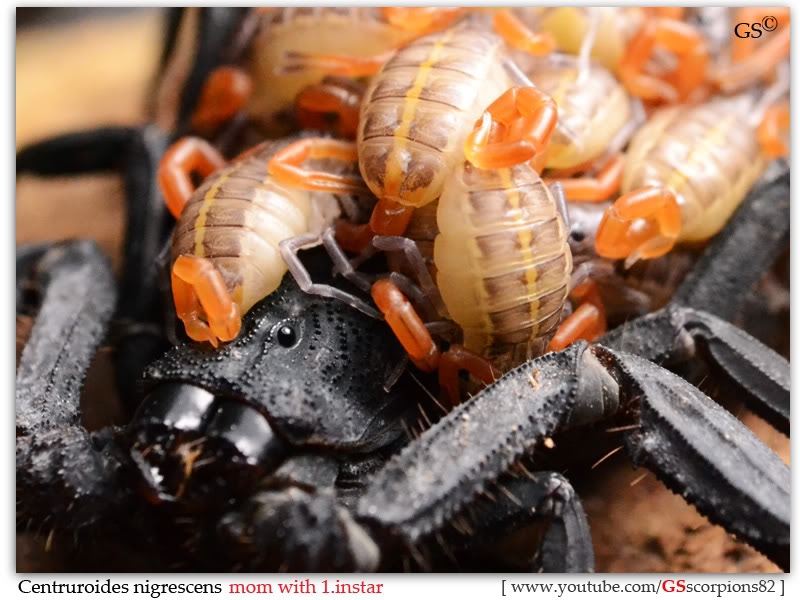 [ASA] Centruroides nigrescens - Page 2 Centruroides_nigrescens_2nd_brood_1instar_by_GSscorpions82_pic6