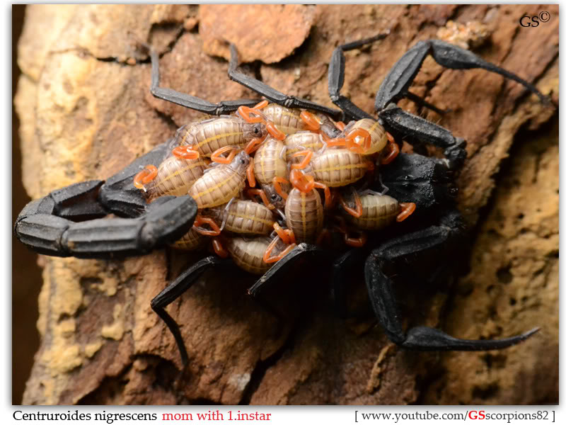 [ASA] Centruroides nigrescens - Page 2 Centruroides_nigrescens_2nd_brood_1instar_by_GSscorpions82_pic7