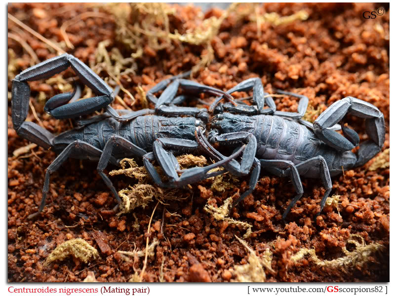 [HOW TO] Guide to Mating Scorpions Centruroides_nigrescens_by_GSscoprions82_pic11