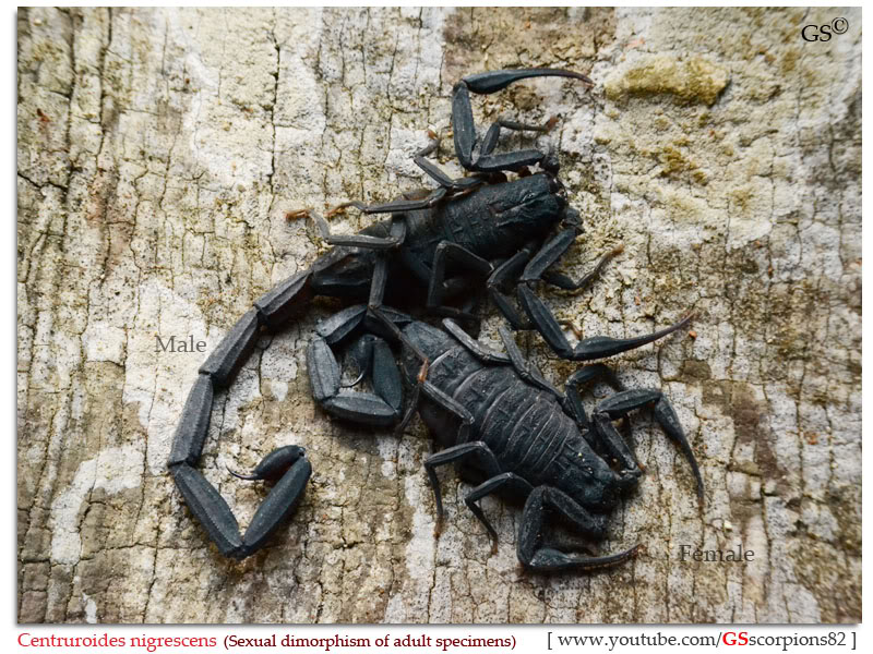 [ASA] Bark Scorpions' Caresheet Centruroides_nigrescens_by_GSscoprions82_pic5