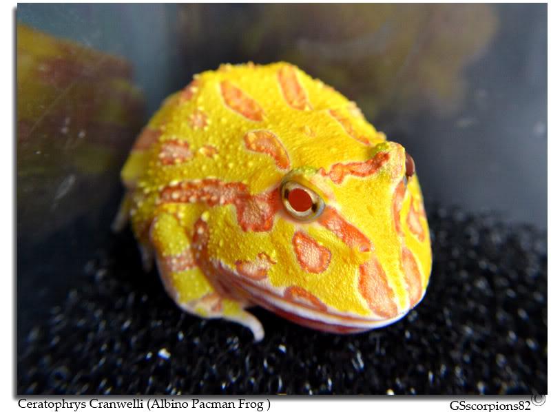 Albino Pacman Frog (Ceratophrys Cranwelli) Albino_Pacman_Frog_Pic2
