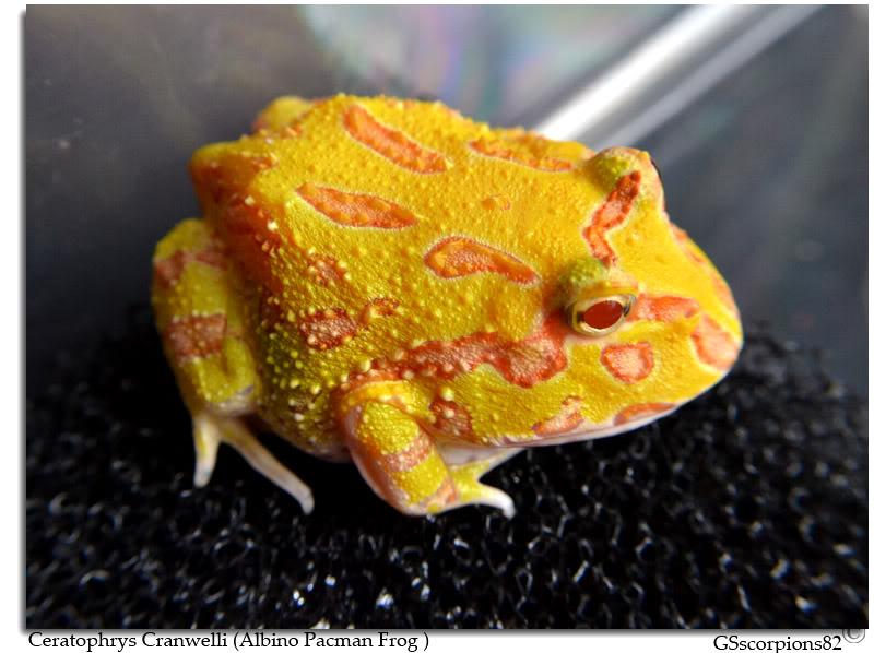 Albino Pacman Frog (Ceratophrys Cranwelli) Albino_Pacman_Frog_Pic3