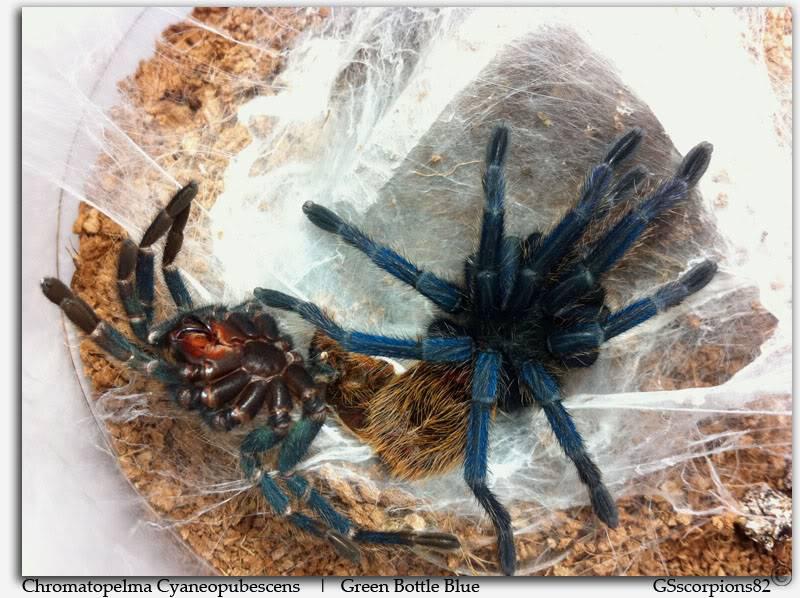GS' TarantulaS Chromatopelma_Cyaneopubescens_Pic1