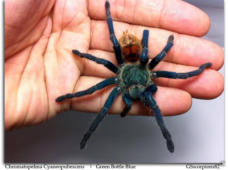 GS' TarantulaS Chromatopelma_Cyaneopubescens_Pic2