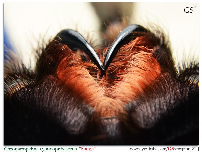 GS' TarantulaS Chromatopelma_cyaneopubescens_by_GS_280312_pic1