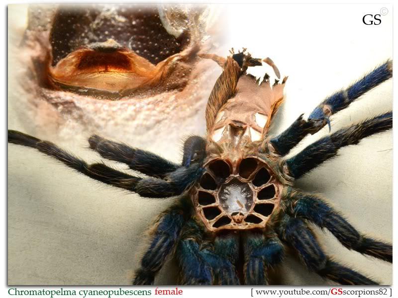 GS' TarantulaS Chromatopelma_cyaneopubescens_by_GS_280312_pic3