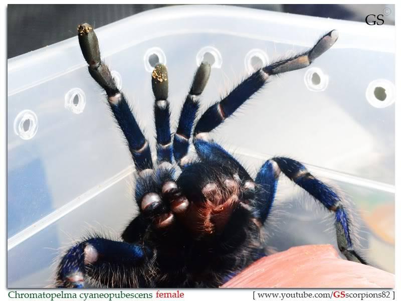 GS' TarantulaS Chromatopelma_cyaneopubescens_by_GS_280312_pic4