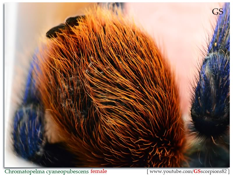 Chromatopelma Cyaneopubescens Chromatopelma_cyaneopubescens_by_GS_280312_pic5