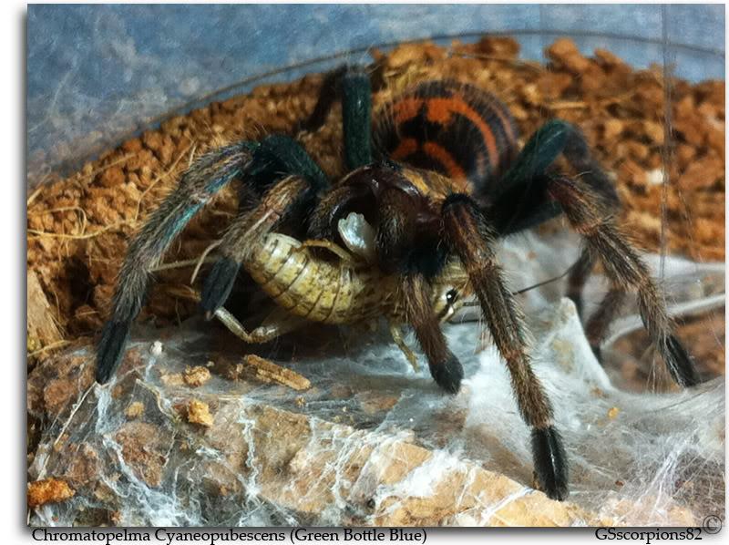 GS' TarantulaS GBB_4