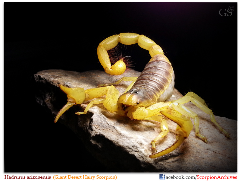 Hadrurus arizonensis (Giant Desert Hairy Scorpion) Hadrurus_arizonensis_by_GS_110313_pic1