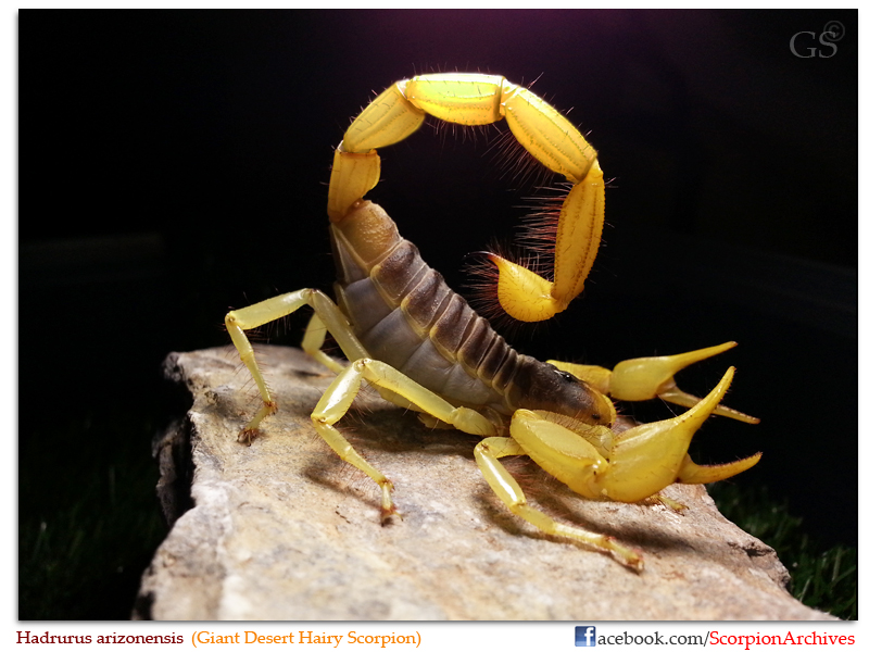Hadrurus arizonensis (Giant Desert Hairy Scorpion) Hadrurus_arizonensis_by_GS_110313_pic4