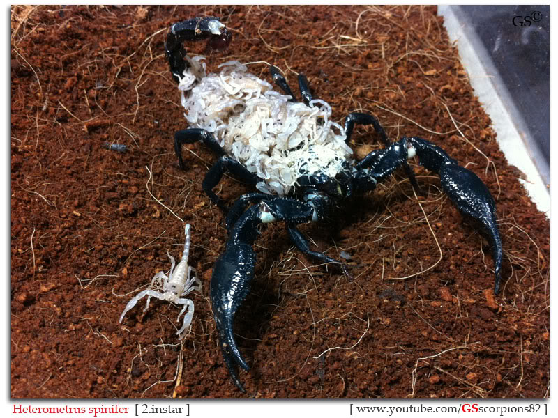 [ASA] Forest Scorpions' Caresheet Heterometrus_spinifer_2i_by_GSscorpions82_pic2