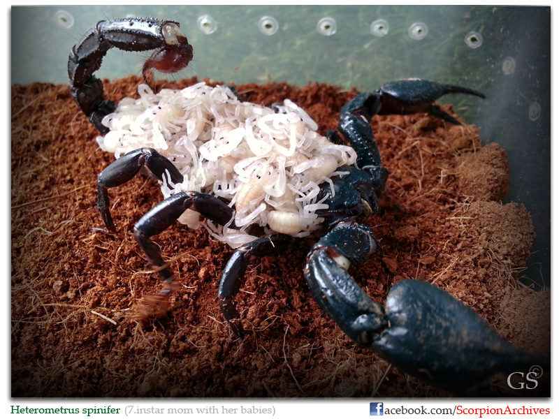 """Who """"popped"""" today? (The birth of scorpion babies) Heterometrus_spinifer_by_GS_260513_pic1"""