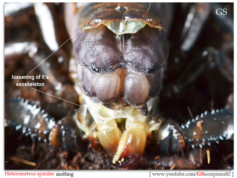 "[HOW TO]  What is ""MOLTING"" and ""PREMOLT"" in Scorpion Context Scorpion_molting_241012_by_GS_pic2a"