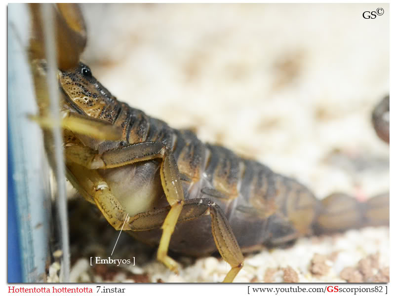 [HOW TO] Tell if your Scorpion is Gravid Hottentotta_hottentotta_breeders_by_GSscorpions82_pic3a