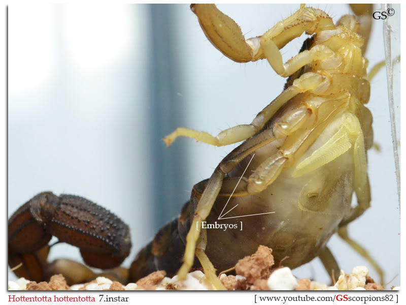 [HOW TO] Tell if your Scorpion is Gravid Hottentotta_hottentotta_breeders_by_GSscorpions82_pic4a
